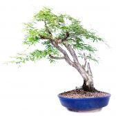 Bonsai Caliandra spinosa 60cm (21 anos) - Premium15